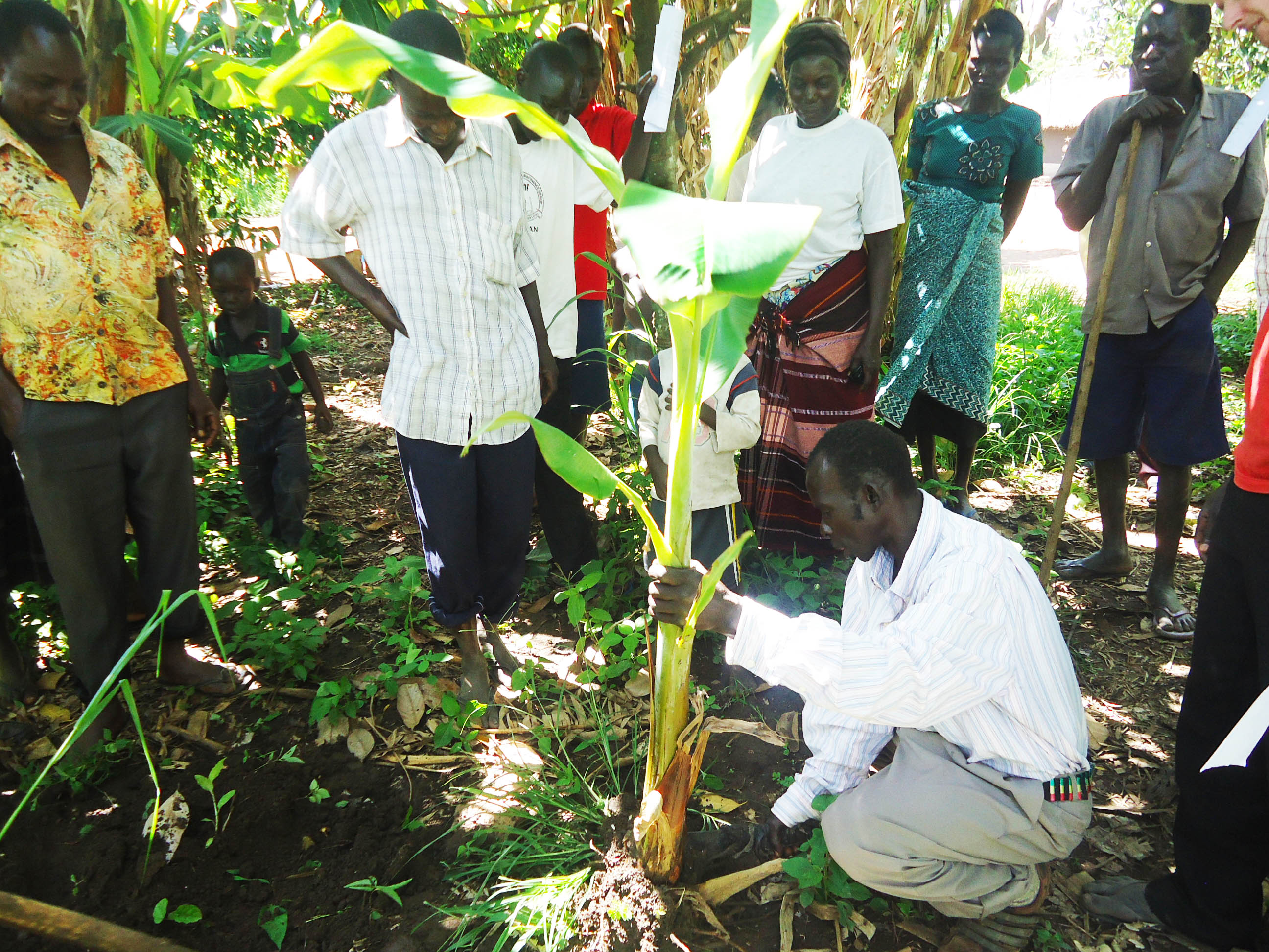 People learning how to plant and grow bananas